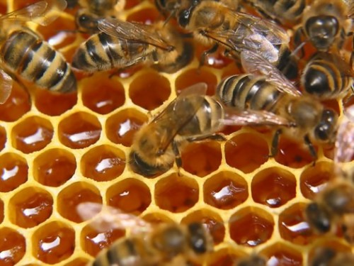 Honey in the making.