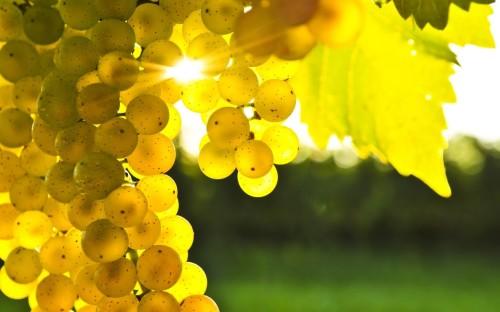 sunlit grapes