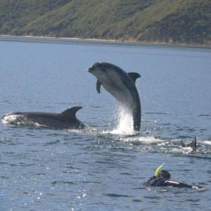 dolphin-snorkeling